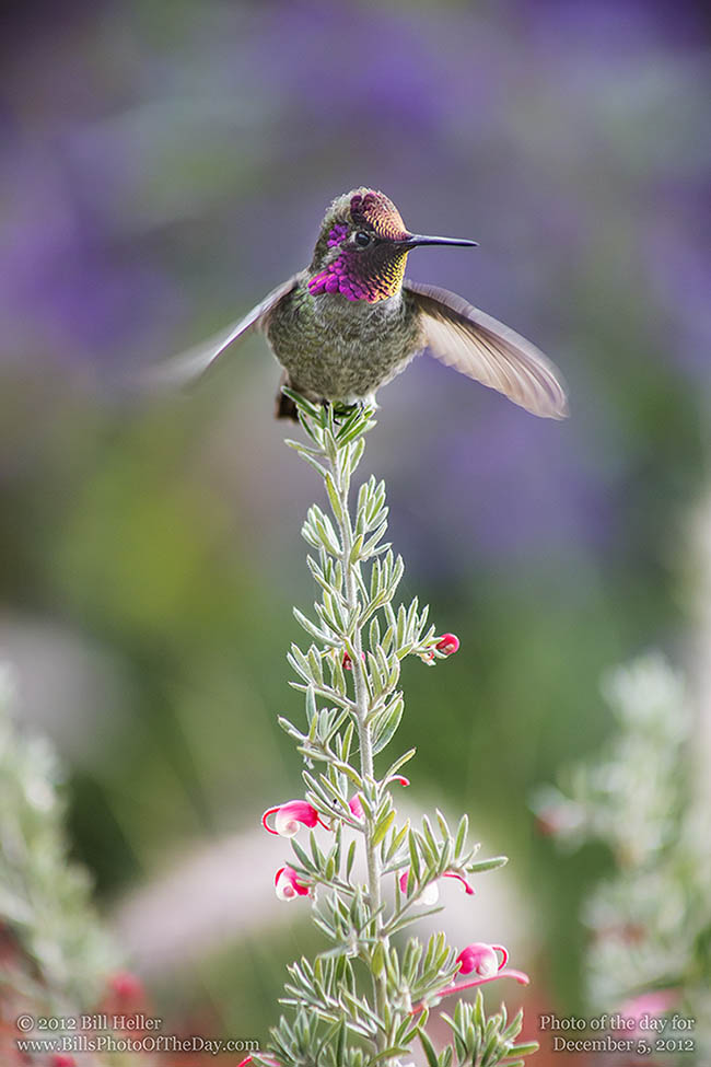 Anna's Hummingbird [Calypte anna] Taking Flight