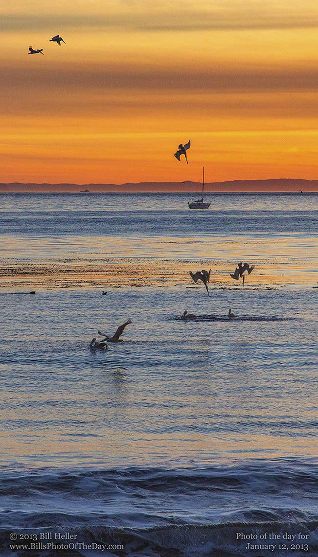 Pelicans Diving for Fish off the coast of Santa Barbara, California