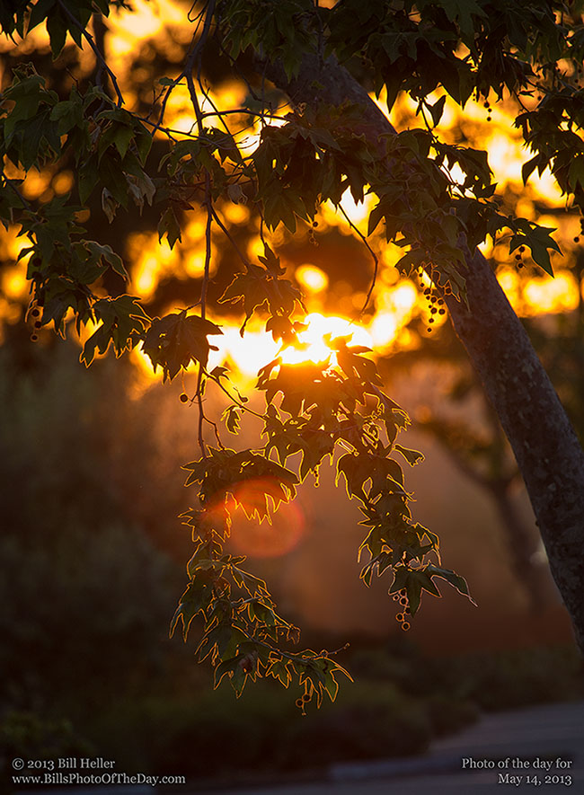 Backlit Leaves in Montecito