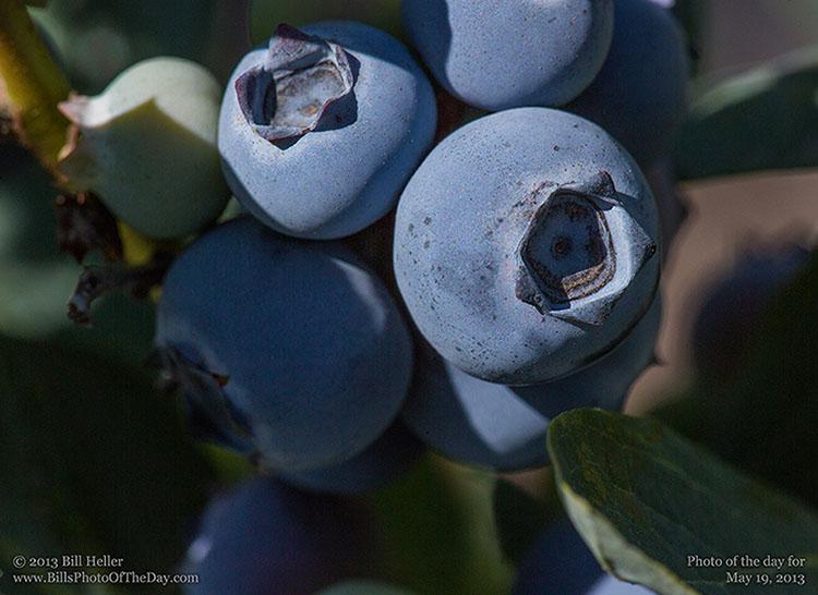 Blueberres ready for picking at Santa Barbara Blueberries