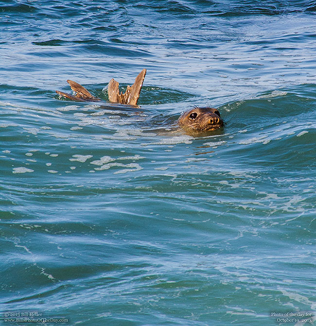 Youn Californi Sea Lion [Zalophus californianus] swimming off the coast of Monterey